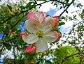 Appletree flower bathes in spring air.jpg