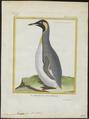 Aptenodytes pennantii - 1700-1880 - Print - Iconographia Zoologica - Special Collections University of Amsterdam - UBA01 IZ17800261.tif