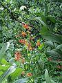 Aquilegia formosa (Ranunculaceae) (9534259556).jpg