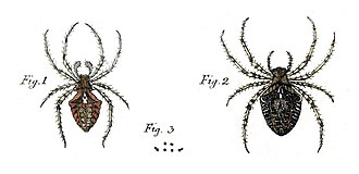 Spider taxonomy - Paintings of Araneus angulatus from Svenska Spindlar of 1757, the first major work on spider taxonomy
