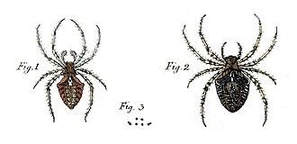 Svenska Spindlar - Figure of male and female A. angulatus (plate 1)