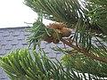 Araucaria O Grove.jpg