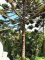 Araucaria angustifolia 01.jpg
