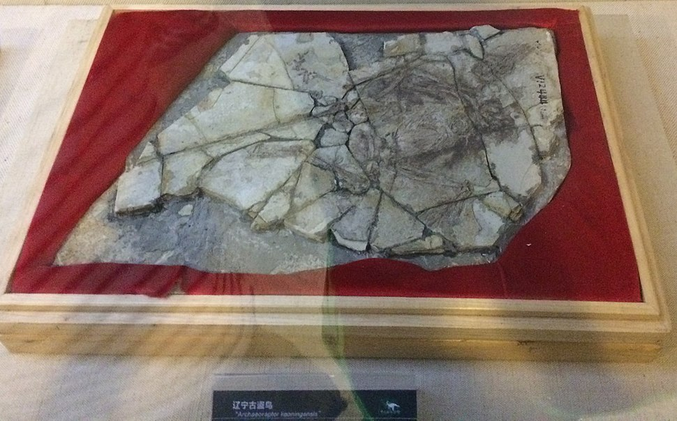 Archaeoraptor composite fossil at the Paleozoological museum of China