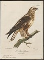 Archibuteo lagopus - 1796-1808 - Print - Iconographia Zoologica - Special Collections University of Amsterdam - UBA01 IZ18200075.tif