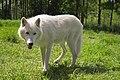 Arctic wolf 2 (J).jpg