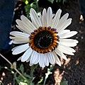 Arctotis fastuosa - Cape daisy IMG-6680.jpg