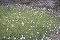 Arenaria ledebouriana JB.jpg