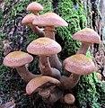 Armillaria solidipes Peck 680229.jpg