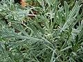 Artemisia australis (5209401679).jpg