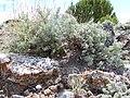 Artemisia nova (left) and Artemisia tridentata (right) (7283745880).jpg