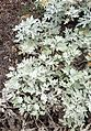 Artemisia stelleriana Silver Brocade kz1.jpg