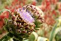 Artichoke plant in a drought-resistant garden in Los Angeles by Renee Gunter.jpg