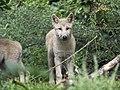 Artis Hudson Bay Wolf (36498475986).jpg
