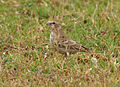 Ashy-crowned Sparrow Lark (Eremopterix grisea) W IMG 0870.jpg