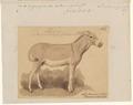 Asinus africanus - 1863 - Print - Iconographia Zoologica - Special Collections University of Amsterdam - UBA01 IZA1000552.tif