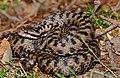Asp Viper (Vipera aspis) male (found by Jean NICOLAS) (35620422551).jpg