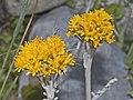 Asteraceae - Jacobaea incana.jpg