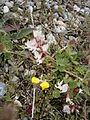 Astragalus australis 002.JPG