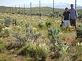 Astragalus filipes (5879728125).jpg