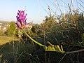 Astragalus onobrychis sl10.jpg