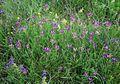 Astragalus vesicarius carniolicus 3.jpg
