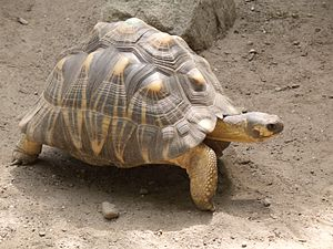 Radiated tortoise - At Roger Williams Park Zoo, US