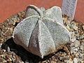 Astrophytum coahuilense 11.JPG