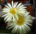 Astrophytum flowers 122.jpg