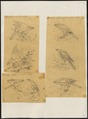 Astur griseogularis - 1700-1880 - Print - Iconographia Zoologica - Special Collections University of Amsterdam - UBA01 IZ18300141.tif