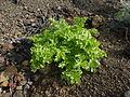 Astydamia latifolia 0701.jpg