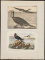 Atagen aquilus - 1700-1880 - Print - Iconographia Zoologica - Special Collections University of Amsterdam - UBA01 IZ18000191.tif
