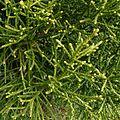 Athrotaxis laxifolia - Flickr - S. Rae.jpg