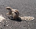 Atlantoxerus getulus - Ardilla moruna - Barbary Ground Squirrel - Flickr - S. Rae.jpg