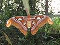 Attacus atlas - Atlas moth at Peravoor 2017 (9).jpg