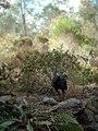 Australian Brushturkey, Gympie, Queensland.jpg