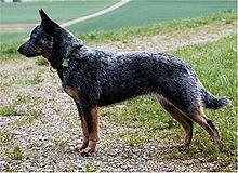 Australian Cattle Dog Naava.jpg
