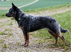 Australsk cattle dog