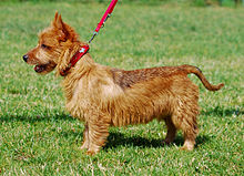 Australian Terrier 002 U.jpg