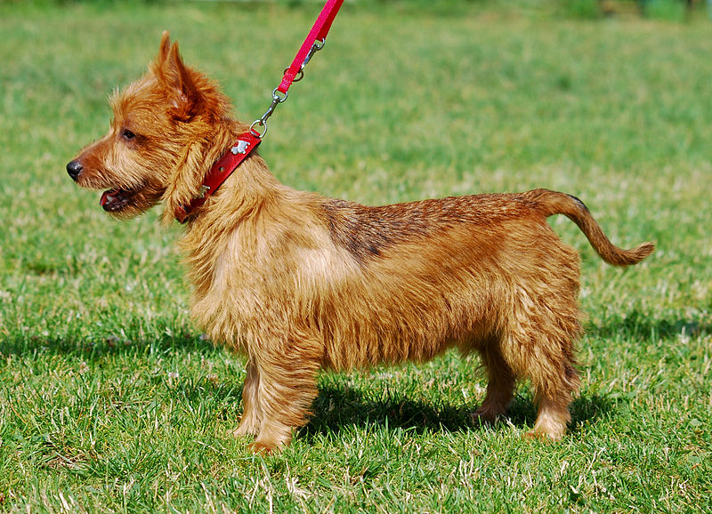 Breeds of small dogs : best small dog breeds: Australian Terrier small ...