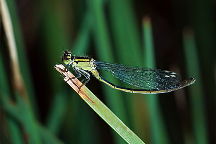 Eastern billabong fly (Austroagrion watsoni, female) Austroagrion watsoni.jpg