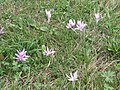 Autumn crocus meadow.jpg