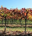 Autumn vineyard in Napa Valley 2.jpg