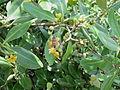 Avicennia officinalis.jpg