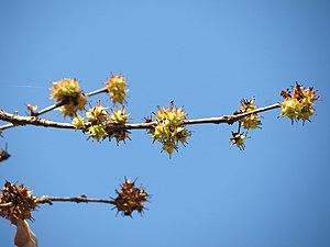 Anogeissus latifolia - Fruit of Anogeissus latifolia