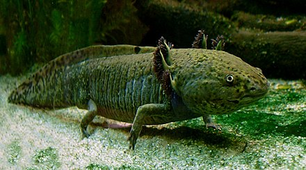 The axolotl (Ambystoma mexicanum) retains its larval form with gills into adulthood Axolotl ganz.jpg