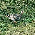 Ayam Kalkun 3.jpg