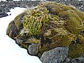 Azorelle et lycopode - panoramio.jpg