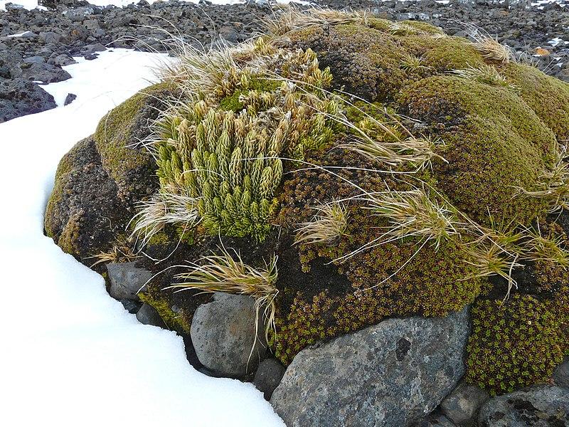 File:Azorelle et lycopode - panoramio.jpg