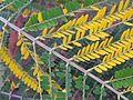 BCBG Colvillea racemosa leaves 02.jpg